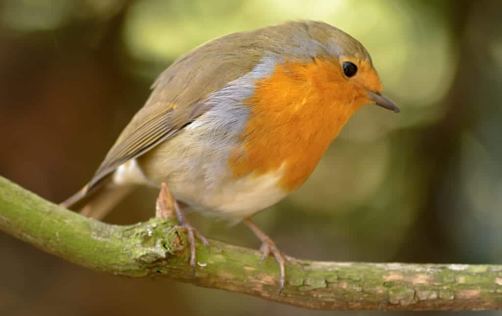 Interesting Facts About American Robin