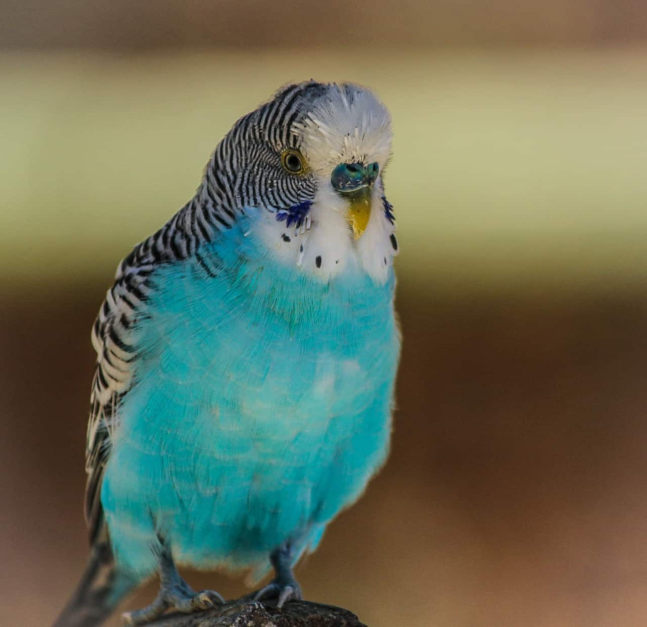 A small blue bird perched on top of a parrot