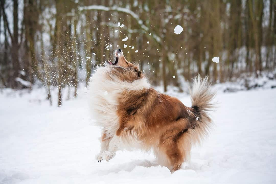 A dog that is covered in snow