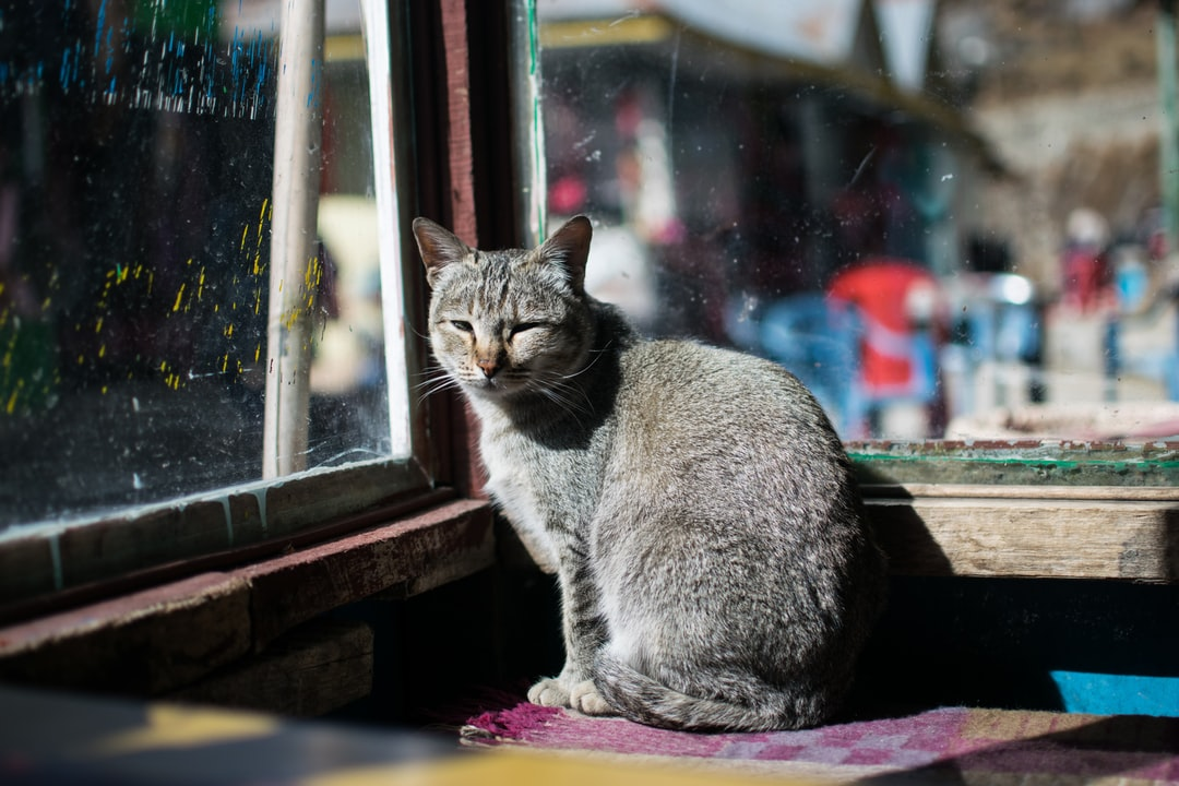 A grey cat sitting in front of a window